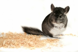 0. chinchilla