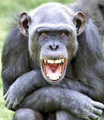 CHIMPANCES RIENDO 1