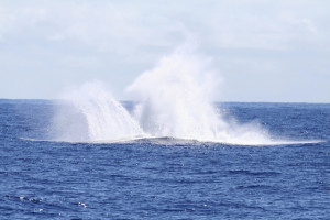 Splash of a whale jumping