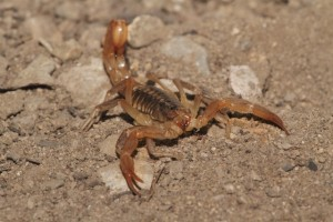 Yellow Ground Scorpion (Vaejovis confusus)