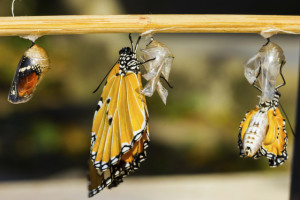 New born Plain tiger butterfly and mature pupa