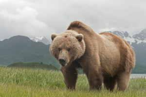 large male brown bear up close